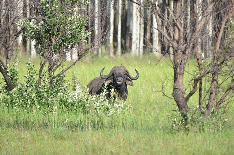 African Buffalo Syncerus caffer utilising conservation areas of commercial forestry properties