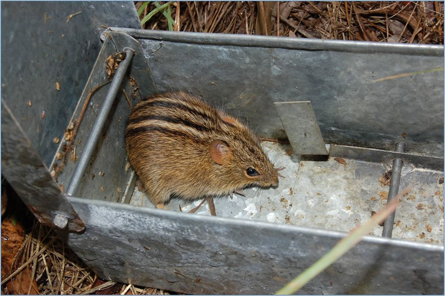 Three-striped Field Mouse in small mammal trap
