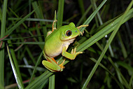 Leptopelis xenodactylus an Endangered frog known only from few scattered localities in south western KwaZulu Natal